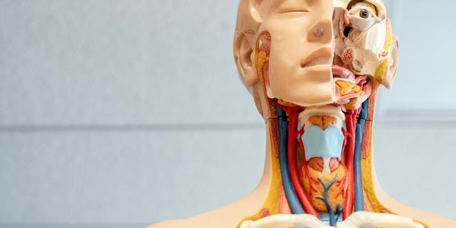 a scientific model of the lymph system